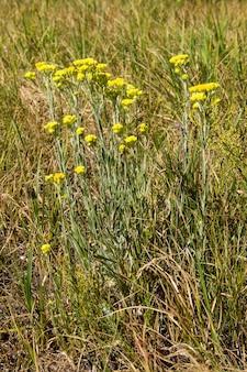 Helichrysum arenarium su prato