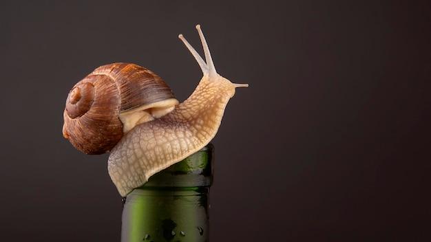 Lumaca dell'uva di pomatia dell'elica su una bottiglia