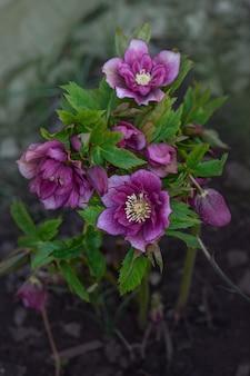 Helleborus hybridus cresce nel giardino primaverile. rosa di natale o elleboro quaresimale o rosa delle nevi.