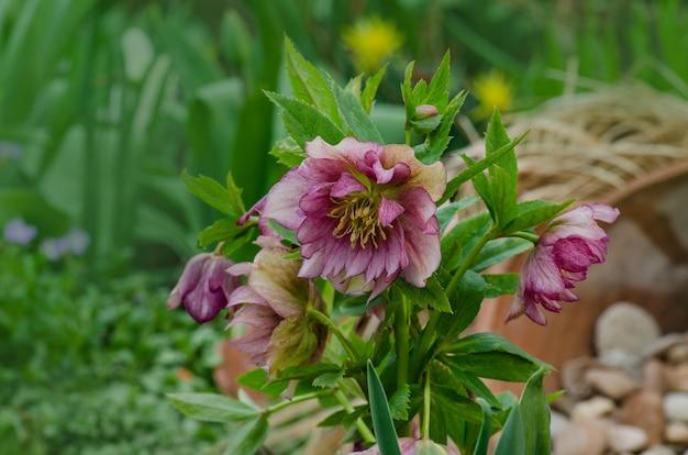 Helleborus rose fiore in giardino in primavera