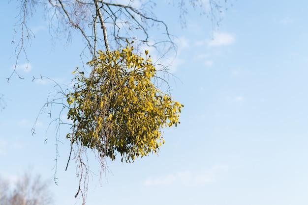 Arbusti emiparassiti di vischio sulle branche degli alberi.