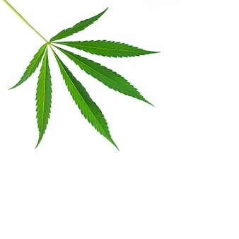 Foglia singola di canapa o cannabis isolata su sfondo bianco