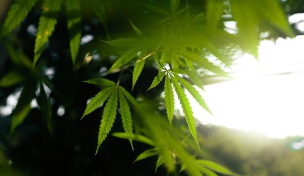 Serata naturale di sfondo di foglie di canapa