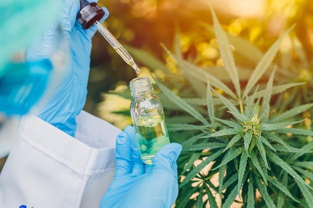 Estratto di olio di canapa da germogli di cannabis sativa o marijuana per cure mediche.