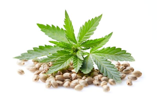 Semi di canapa con pianta di cannabis su bianco