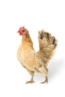 Gallina bantam pollo su bianco