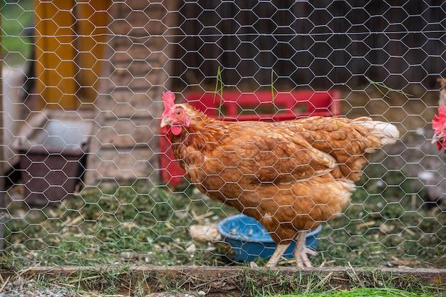 Una gallina nell'aia, produzione di uova biologiche, concetto animale animal