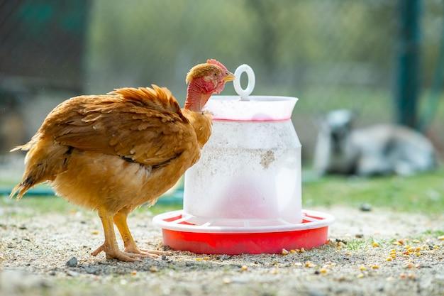 Le galline si nutrono di un cortile rurale tradizionale. primo piano di pollo in piedi sul cortile del fienile con mangiatoia per uccelli