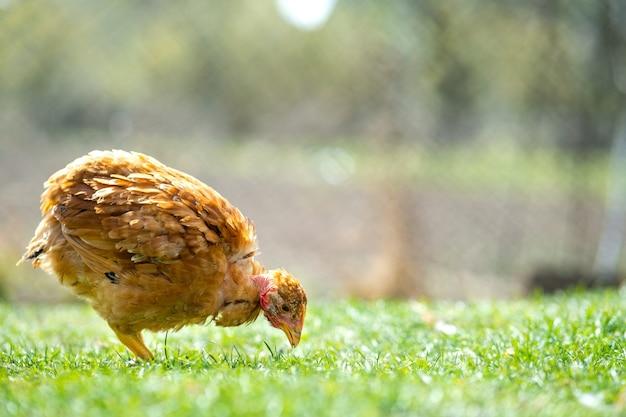 La gallina si nutre del tradizionale cortile rurale. primo piano di pollo in piedi sul cortile del fienile con erba verde. concetto di allevamento di pollame ruspante.