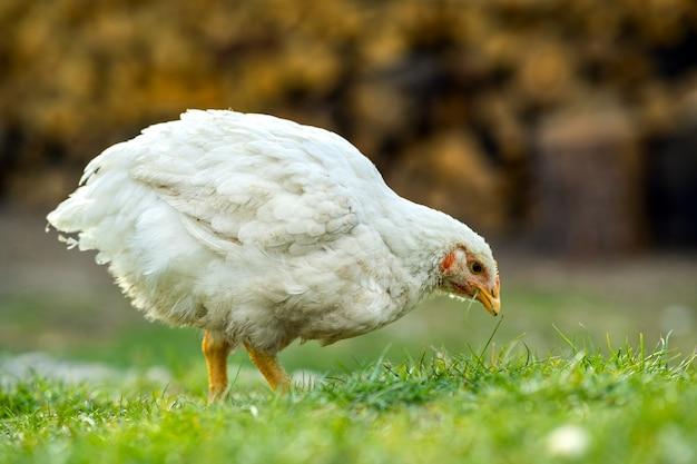 Le galline si nutrono di un cortile rurale tradizionale. primo piano di pollo in piedi sul cortile del fienile con erba verde. concetto di allevamento di pollame ruspante.