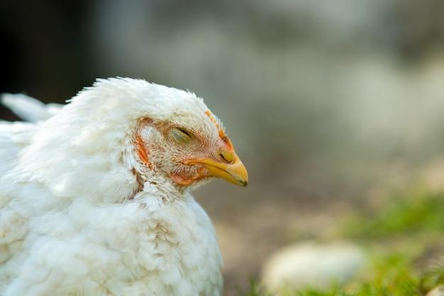 La gallina si nutre del tradizionale cortile rurale. chiuda in su del pollo bianco che si siede sul cortile del granaio con erba verde. concetto di allevamento di pollame ruspante.