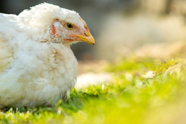 Le galline si nutrono di un cortile rurale tradizionale. chiuda in su del pollo bianco che si siede sul cortile del granaio con erba verde. concetto di allevamento di pollame ruspante.