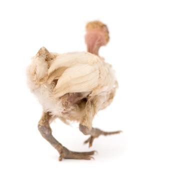Una gallina del benin isolata