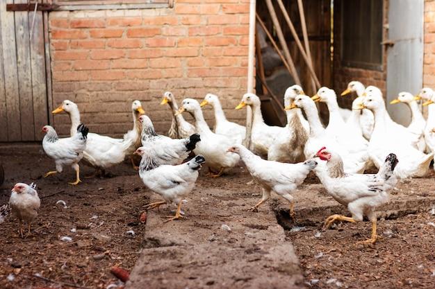 Galline e anatre che passeggiano nel cortile, aia in una fattoria per l'allevamento di pollame