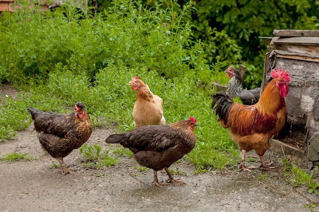 Galline e gallo nella fattoria