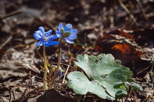Hepatica nobilis anemone hepatica fiori blu nella foresta di primavera