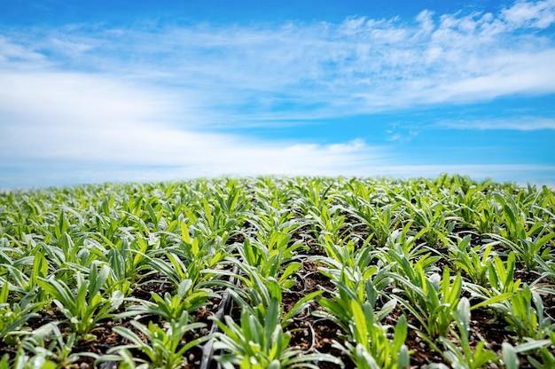 Germogli di piante erbacee e cielo blu chiaro