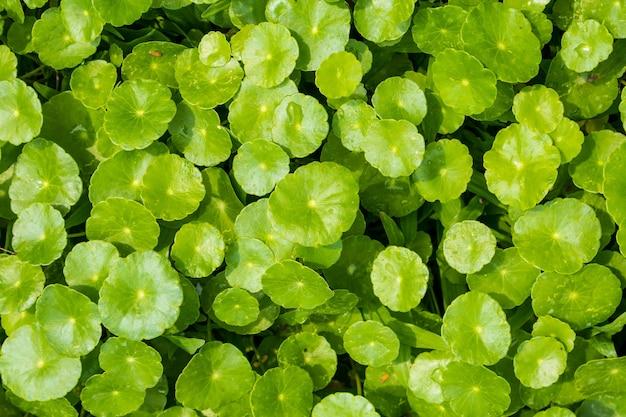 Foglie di erbe medicinali di centella asiatica