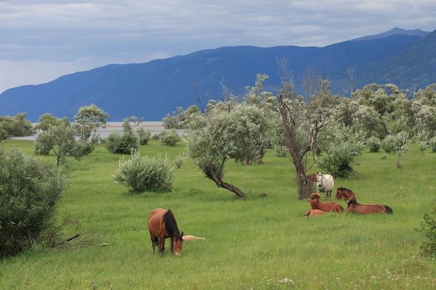 Mandria di cavalli altai al pascolo tra i salici