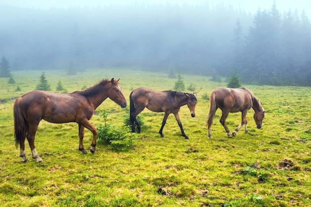 La mandria di cavalli marroni si nutre del campo verde nebbioso con la foresta
