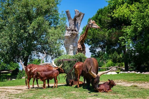 La mandria di brown watusi bulls e una giraffa allo zoo, lago di garda, italia