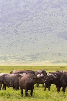 Una mandria di bufali all'interno di un vulcano. ngorongoro, tanzania