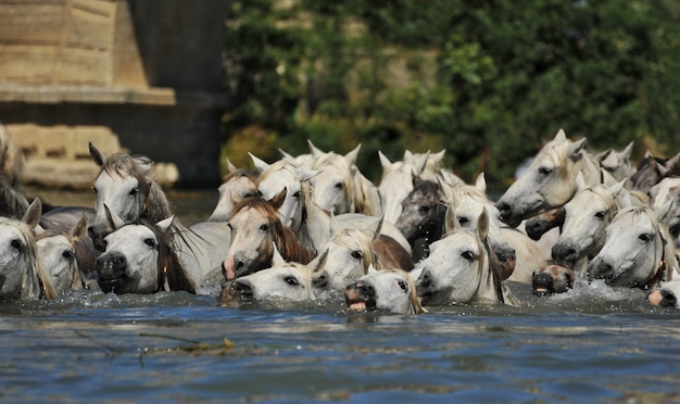 Mandria di cavalli della camargue
