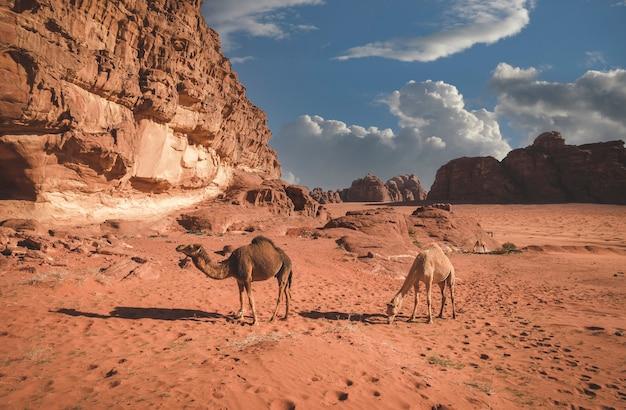 Mandria di cammelli pascola nelle sabbie del deserto del wadi rum in giordania