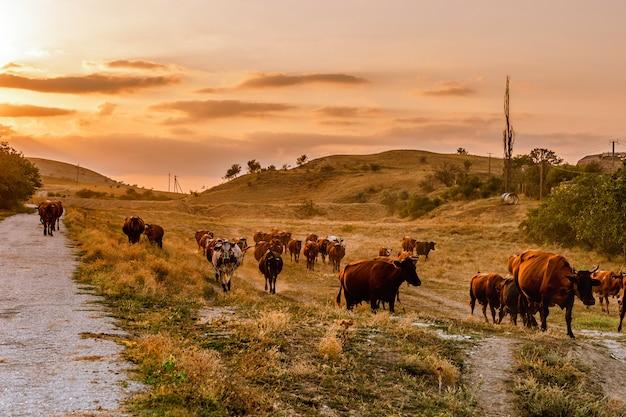 Una mandria di mucche cammina lungo una strada di campagna al tramonto