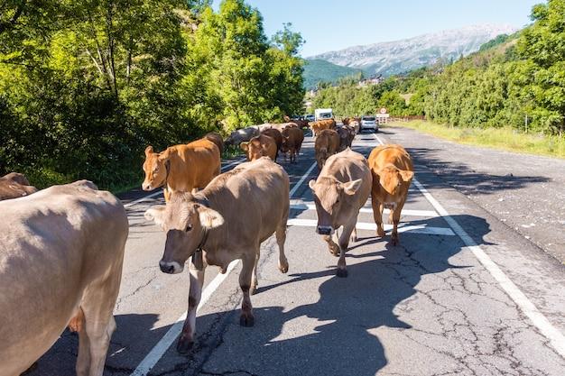 Mandria di mucche che attraversano la città di benasque, huesca, spagna