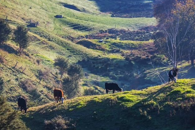 Mandria di mucche in estate campo verde .agricoltura agricoltura pascolo rurale