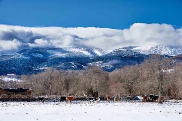 Mandria di mucche in un campo invernale