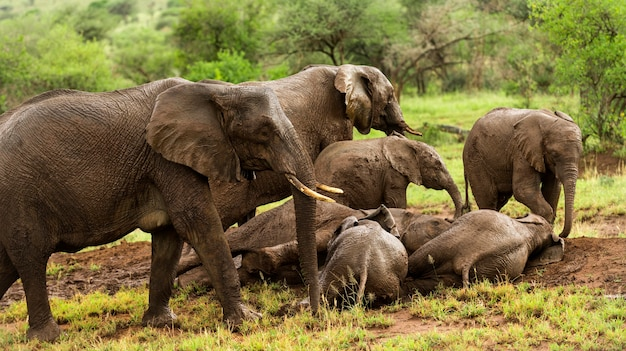 Branco di elefanti in appoggio, serengeti, tanzania, africa