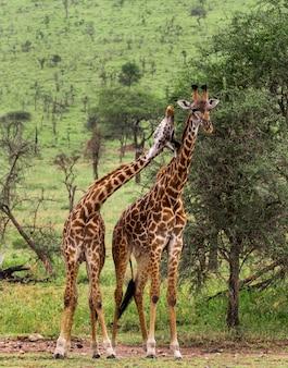 Allevamento di giraffe, serengeti, tanzania, africa