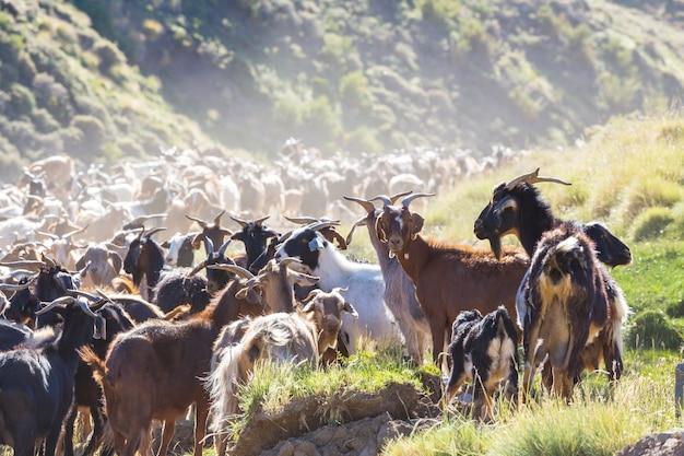 Mandria di capre in montagna