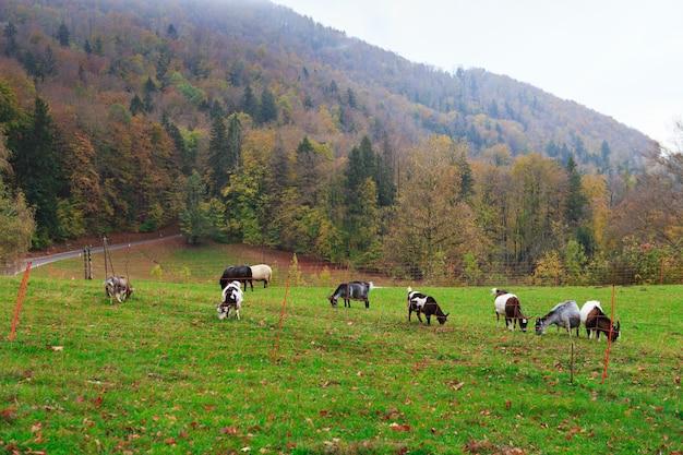 Gregge di capre e pecore al pascolo nel villaggio alpino di montagna