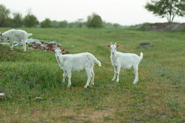 Un gregge di capre che cammina su un prato verde in una fattoria.