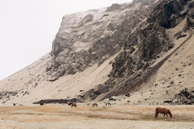 Una mandria di cavalli pascola sullo sfondo di una montagna rocciosa il cavallo islandese è una razza di cavalli