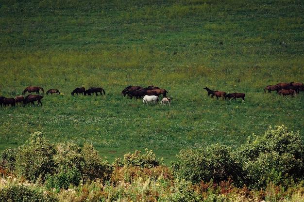 La mandria di cavalli pascola in un prato. un puledro salta intorno a un cavallo bianco.