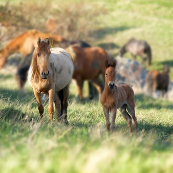 Mandria di cavalli che guarda l'obbiettivo sul campo con erba verde