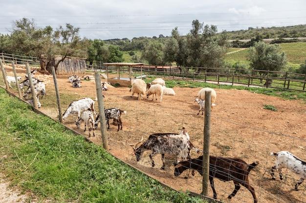 Nella stalla viene tenuto un gregge di capre portoghesi. pascolare.
