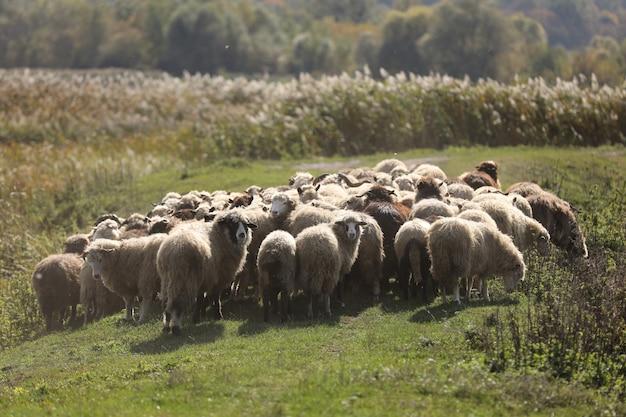 Branco di arieti pascolano fuori nell'erba nel prato. messa a fuoco selettiva.