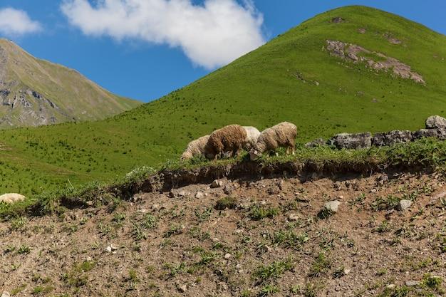 Il gregge di pecore pascola su verdi colline, kazbegi e la strada militare georgiana