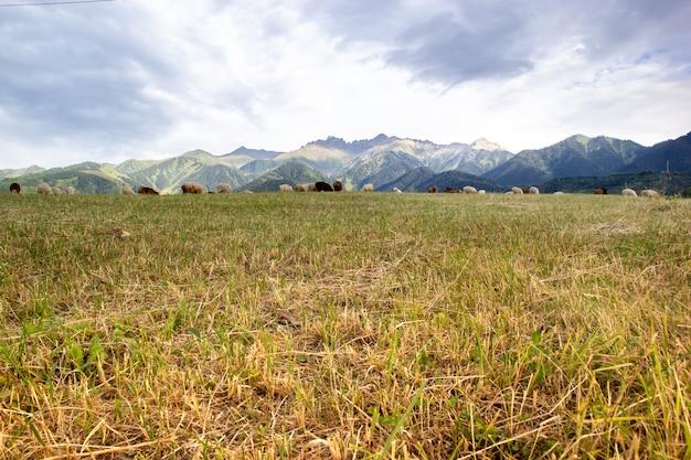 Un gregge di pecore pascola nei prati delle montagne del kazakistan. vista jailau con grande spazio di copia.
