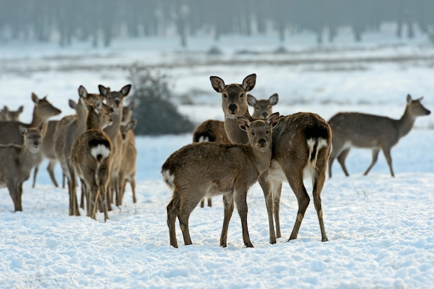 Un branco di cervi maculati in inverno