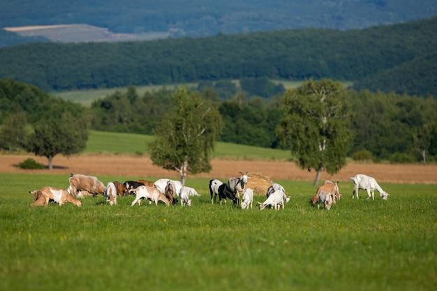 Mandria di capre bianche e marroni al pascolo su un prato verde nella natura estiva.