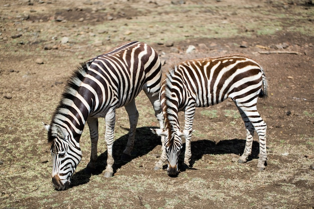 Branco di zebre allo stato brado. mauritius.