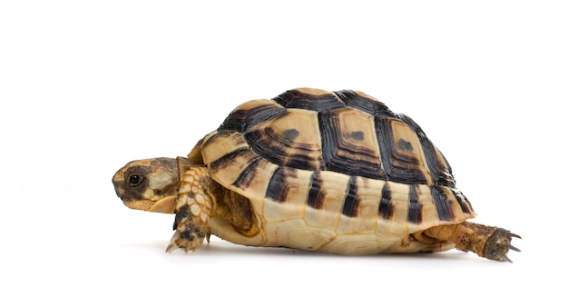 La tartaruga di herman davanti a un backgroung bianco