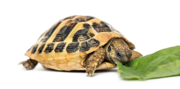 Tartaruga di hermann che mangia insalata, isolata su bianco