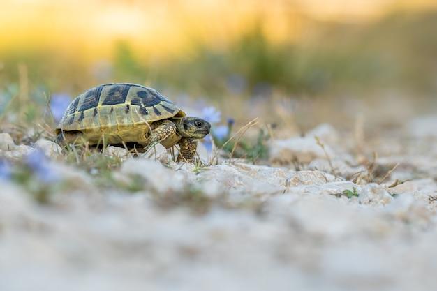 La tartaruga di hermann (testudo hermanni boetgeri) cammina su un sentiero
